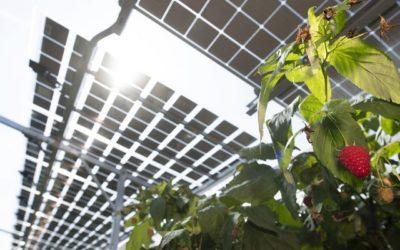 Солнечная электростанция над полями малины — многообещающий проект в Нидерландах похвастался урожаем (видео)